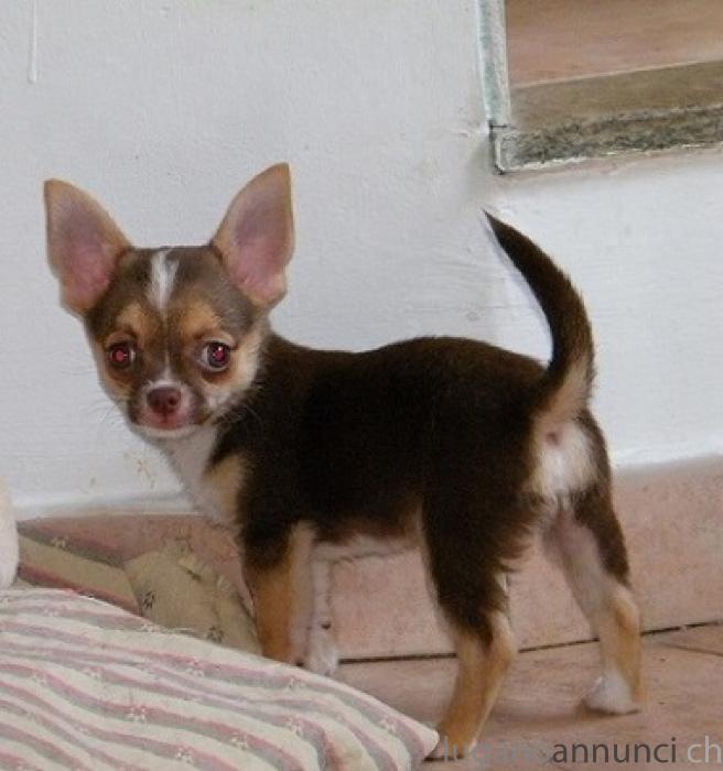 Chihuahua cuccioli Chihuahuacuccioli.jpg