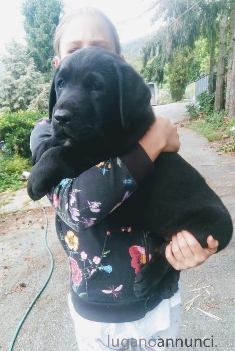 Cuccioli labrador retriever 3 mesi Cucciolilabradorretriever3mesi.jpg