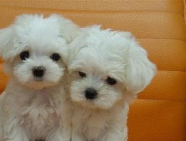 Cuccioli di pura razza maltese italia 441265a.jpg