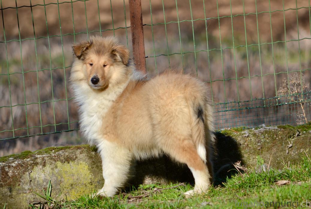 Collies cuccioli (pastore scozzese a pelo lungo) Colliescucciolipastorescozzeseapelolungo.jpg