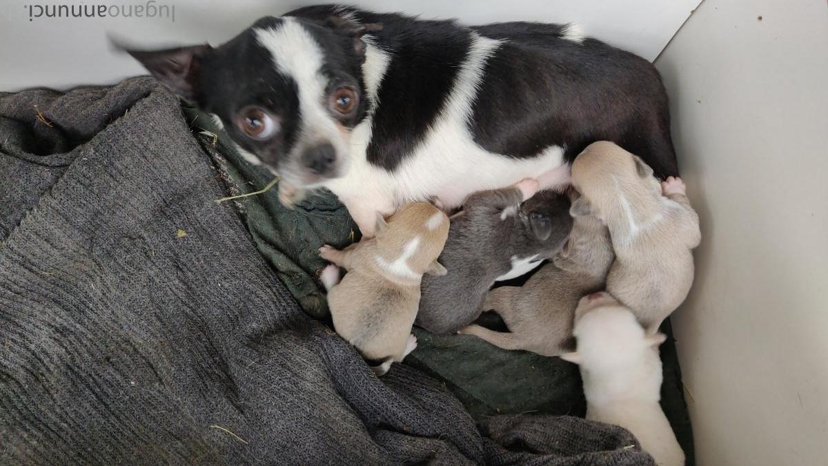Chihuahua cuccioli di un mese Chihuahuacucciolidiunmese.jpg