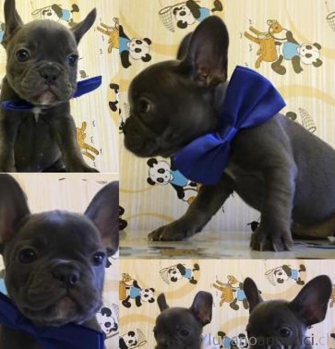 Cuccioli Bulldog Francese Blu Lugano Annunci