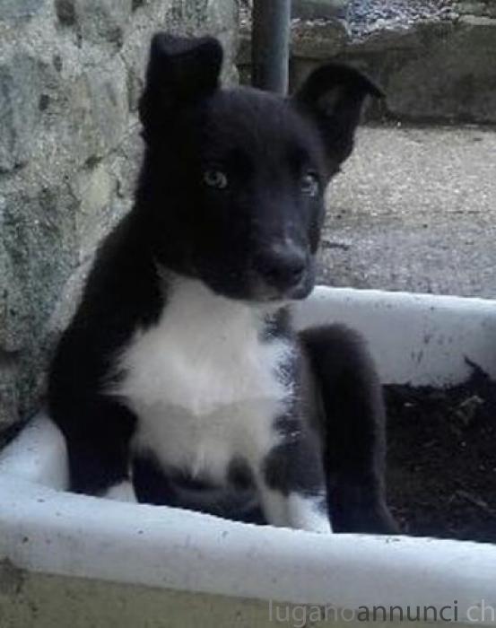 Cucciolo di Border Collie in vendita CucciolodiBorderCollieinvendita.jpg