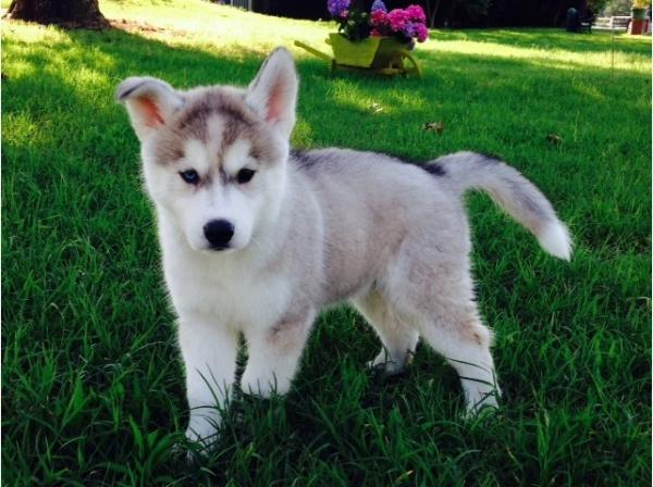 Siberian Husky cuccioli 455162a.jpg