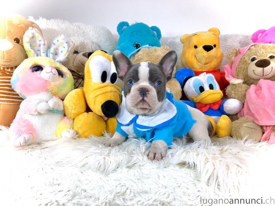Bulldog Francese Esotico Bianco e Blue Occhi Blue  Cuccioli BulldogFranceseEsoticoBiancoeBlueOcchiBlue.jpg