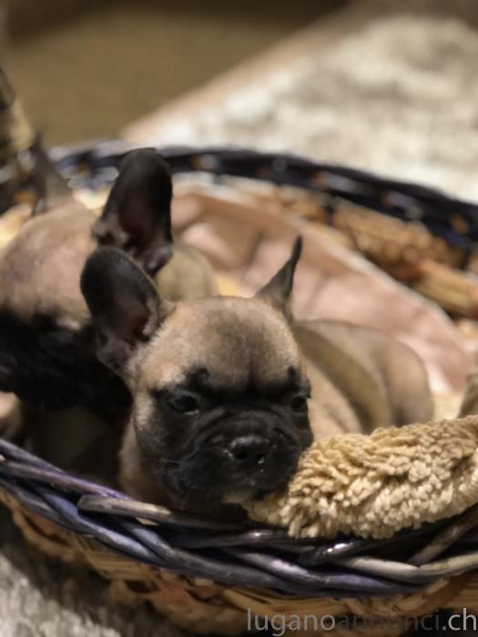 Cucciolo di bulldog francese pedigree enci Cucciolodibulldogfrancesepedigreeenci.jpg