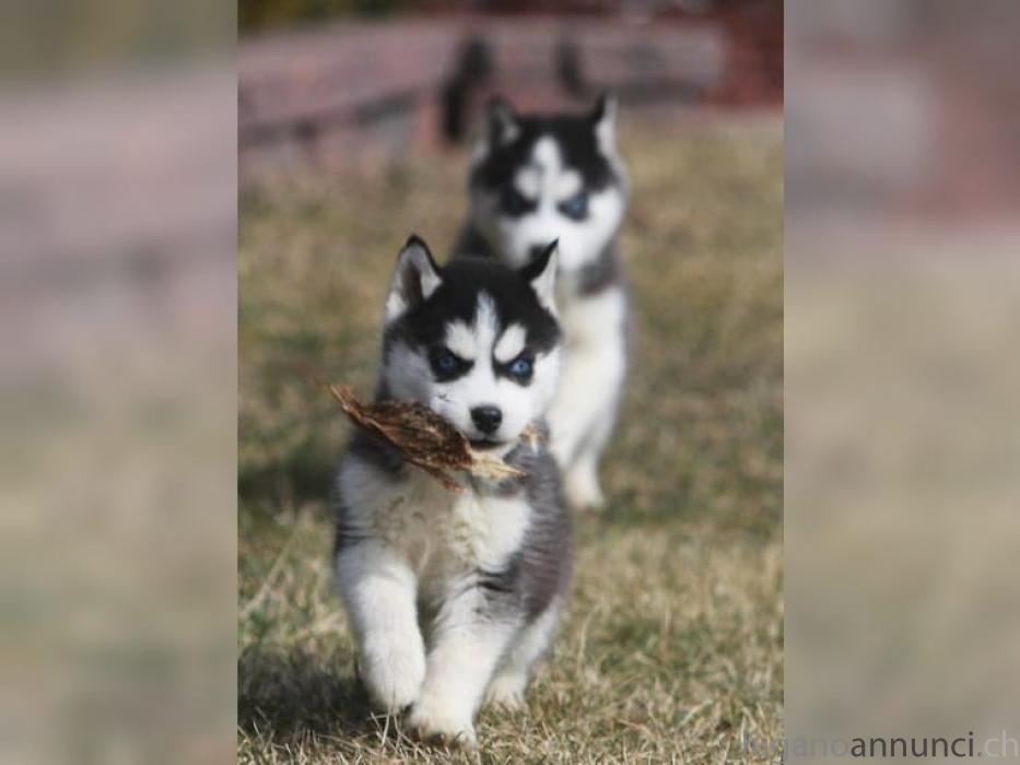 Cucciolo di Siberian Husky pronto per la consegna .. CucciolodiSiberianHuskyprontoperlaconsegna.jpg