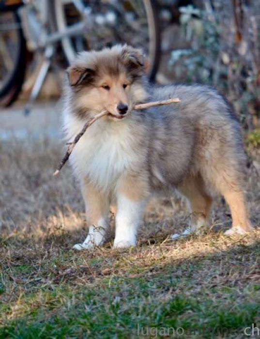 Pastore scozzese a pelo lungo (rough collies) Pastorescozzeseapelolungoroughcollies.jpg