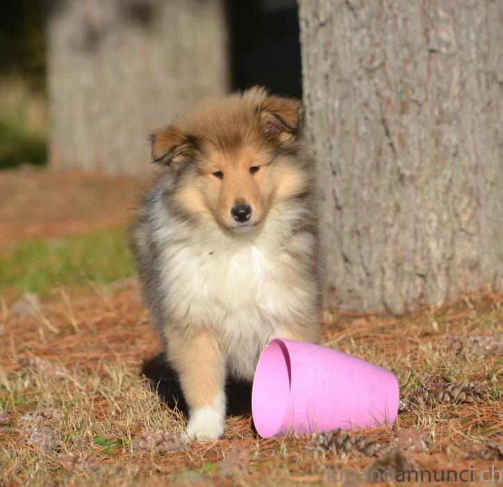 Collies cucciolo pastore scozzese a pelo lungo Colliescucciolopastorescozzeseapelolungo.jpg