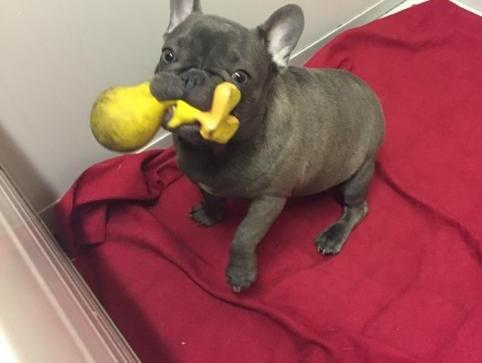 Bouledogue francese:Cucciolo bulldog francese 452905a.jpg