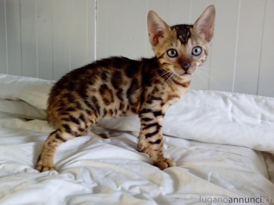 Cucciolo gatto Bengala maschio CucciologattoBengalamaschio.jpg