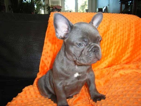 Bouledogue francese: blu cuccioli di campioni 443550a.jpg