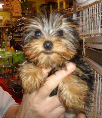 R.EGALO cuccioli maschio e femmina Yorkshire toy . 452685a.jpg