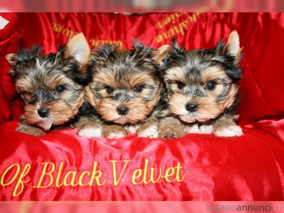 Yorkieshire Terrier Cuccioli disponibili YorkieshireTerrierCucciolidisponibili.jpg