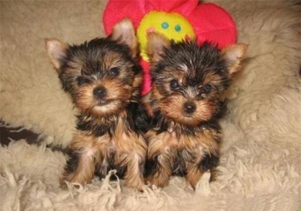 Regalo dolcissimi cuccioli yorkshire terrier toy 452587a.jpg