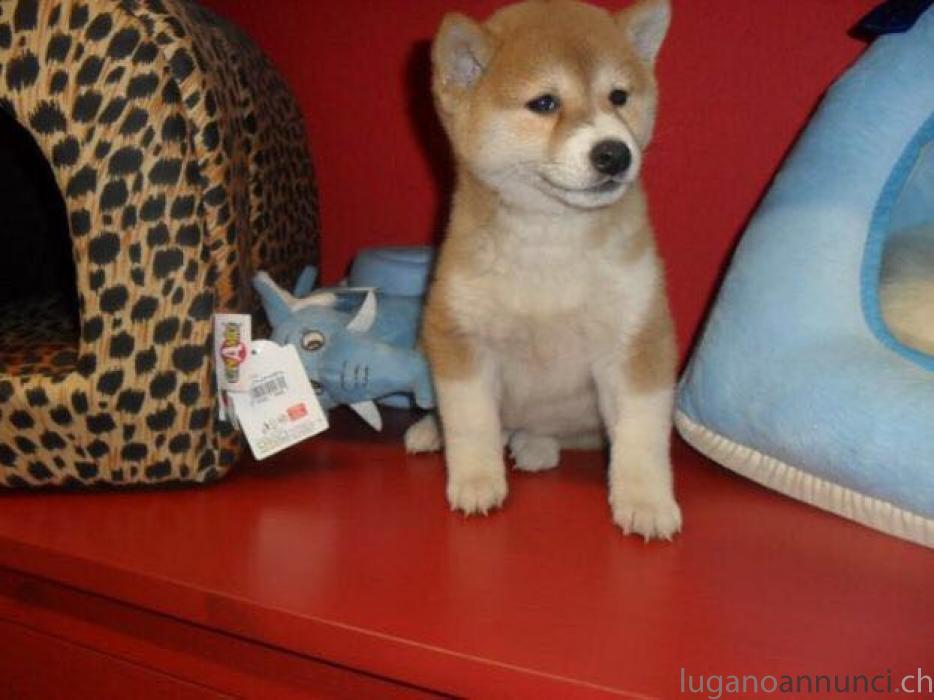 Cuccioli di Shiba inu 2 mesi CucciolidiShibainu2mesi.jpg