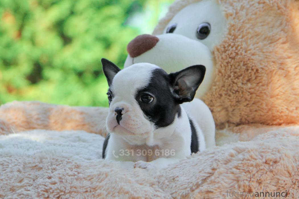 Bulldog Francese Bianca E Nera Lugano Annunci