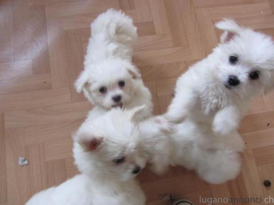 Cuccioli Maltese purosangue da sogno da consegnare immediatamente CuccioliMaltesepurosanguedasognodaconsegnareimmediatamente.jpg