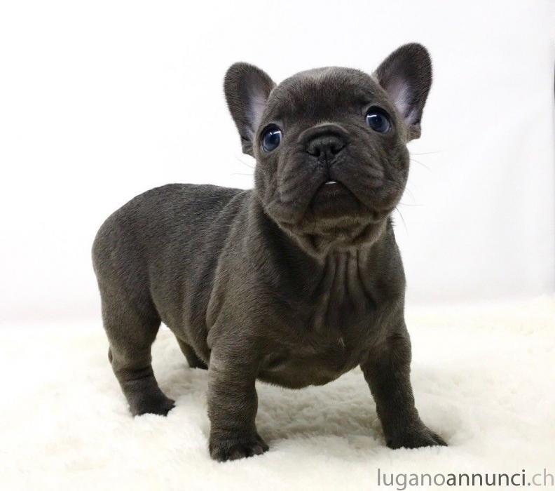Cucciolo  blu bulldog francese. Cuccioloblubulldogfrancese.jpg