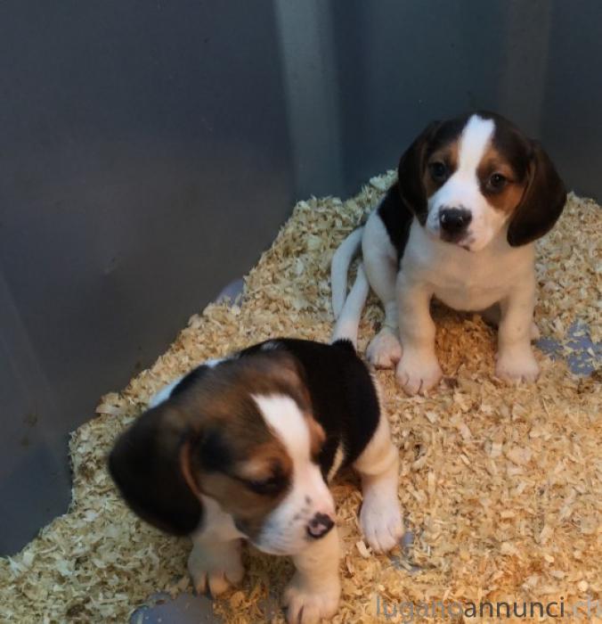 Regalo cuccioli di Beagle RegalocucciolidiBeagle.jpg