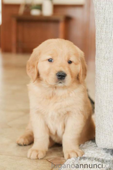 Stupendi cuccioli di Golden Retriever StupendicucciolidiGoldenRetriever.jpg