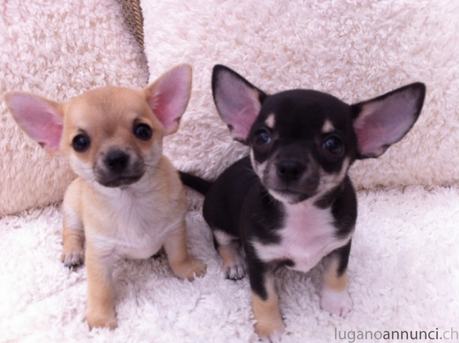 cuccioli di chihuahua mini toy cucciolidichihuahuaminitoy.png