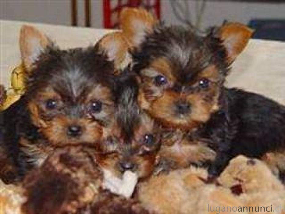 Carino cucciolo di Yorkshire Terrier 12 settimane CarinocucciolodiYorkshireTerrier12settimane.jpg