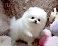Bella cuccioli di vilponi di pomerania maschio e femmia .... ;