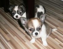 chihuahua Cuccioli disponibili