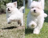 allevamento maltesi cuccioli disponibili