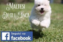 allevamento maltesi cuccioli disponibili allevamentomaltesicucciolidisponibili1.jpg