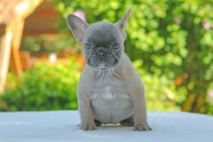 Cucciola di Bulldog Francese Blu Fawn