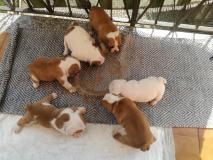 Cuccioli bulldog inglesi