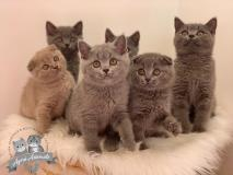 Scottish Fold Straight British Shorthair Pedigree