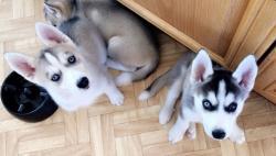 Cuccioli belli, robusti e robusti.Siberian Husky