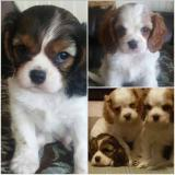 cavalier king Charles disponibili !!!!!