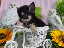 Chihuahua maschio nero focato pelo corto