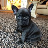 Cucciolo di bulldog francese