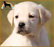 labrador cuccioli con pedigree