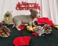 Chihuahua femmina blue fawn occhi chiari toy