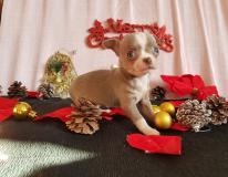 Chihuahua femmina blue fawn occhi...