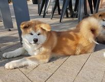 Cucciolo di akita inu con pedigree