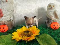 Chihuahua femmina pelo raso bianco grigio  vero toy