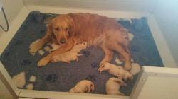 Meravigliosi cuccioli di Golden Retriever