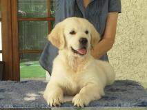 Golden retriever Goldenretriever1.jpg