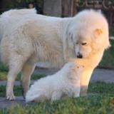 cuccioli pastore maremmano maschi con pedigree