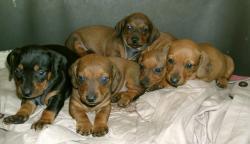 Bassotto tedesco cuccioli
