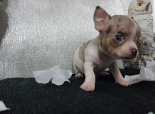 Chihuahua pelo raso bianco contesta merle toy