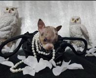 Chihuahua pelo raso bianco contesta merle toy Chihuahuapelorasobiancocontestamerletoy12345.jpg