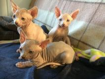 3 cuccioli maschi di Canadian Sphynx